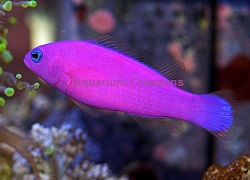 Picture of Purple Dottyback