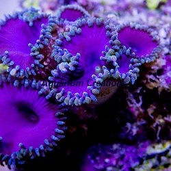 Picture of Aquacultured Purple Death Palythoa's