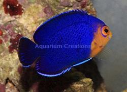 Saltwater aquarium angelfish marine angelfish ocean for Blue saltwater fish