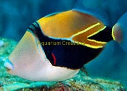 Picture of Rectangle Triggerfish, Rhinecanthus rectangulus