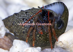 Picture of Dwarf Red Leg Reef Hermit Crab