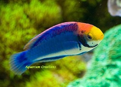 Picture of Red Head Solon Fairy Wrasse, Cirrhilabrus solorensis
