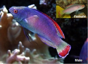 Red Margin Fairy Wrasse is also called the Pink Margin Fairy Wrasse