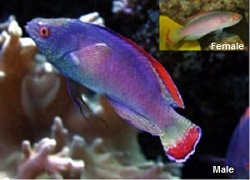 Picture of the Male and Female Red Margin Fairy Wrasse ALIGN=