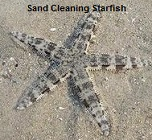 Picture of Sand Cleaning Starfish