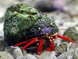 Scarlet Reef Crabs, an important reef friendly component in any algae control package.