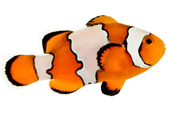 Picture of Snowflake Clownfish