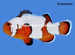 Picture of Premium Snowflake Clownfish