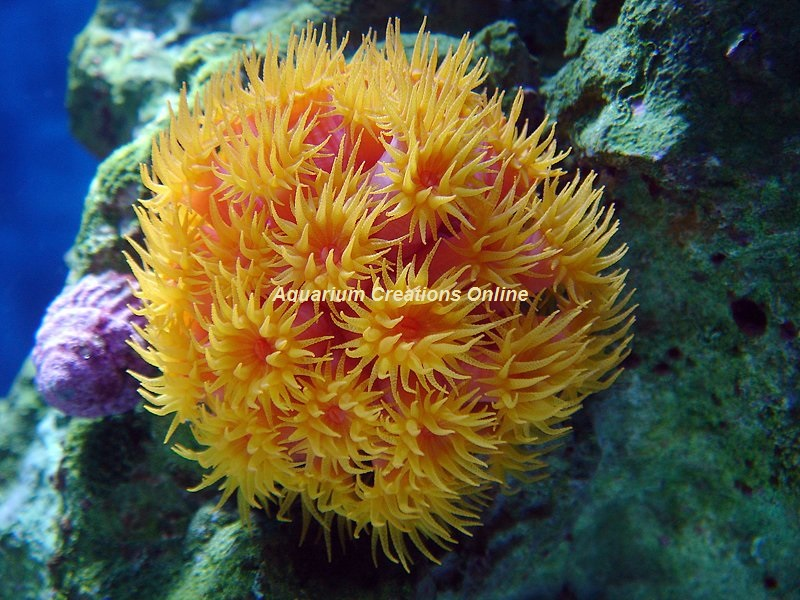 Picture of Orange Sun Polyp Coral