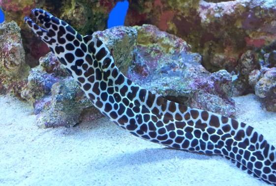 Freshwater Snowflake Eel | Saltwater Aquarium Eels