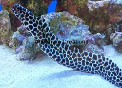 Picture of a Tessalata Eel