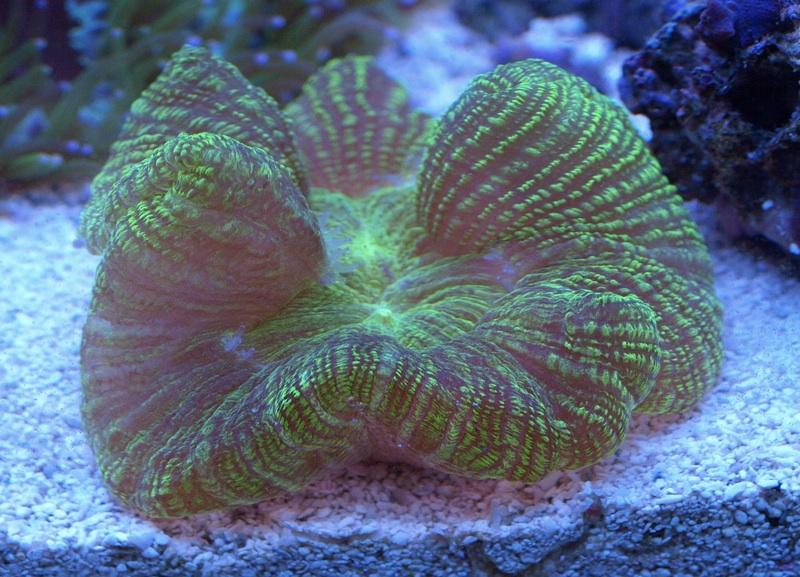 Open brain corals