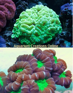 Red or Green Candy Coral, Aquacultured