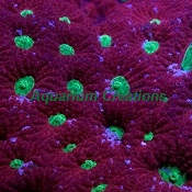 Picture of Red and Green War Coral, Australia