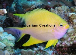 Picture of Golden Yellow Chromis