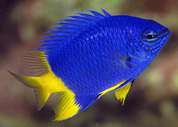Yellow Tail Blue Damsel 34